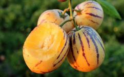 怀孕的人可以吃人参果吗?人参果的糖分高吗?